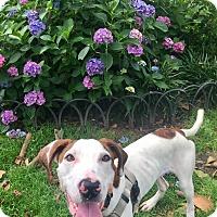 Adopt A Pet :: Jack White - Jersey City, NJ
