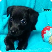 Adopt A Pet :: Dash - Hagerstown, MD