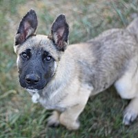 German Shepherd Dog/Belgian Malinois Mix Dog for adoption in Dodson, Montana - Podrick