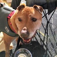 Adopt A Pet :: Starla - San Francisco, CA