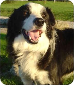 Border Collie Dog for adoption in Overland Park, Kansas - Dakota