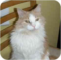 Domestic Longhair Cat for adoption in Hamburg, New York - Alex