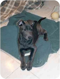 German Shepherd Dog/Labrador Retriever Mix Puppy for adoption in Rochester/Buffalo, New York - Neva