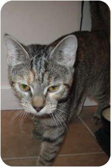 Domestic Shorthair Cat for adoption in Worcester, Massachusetts - Samantha