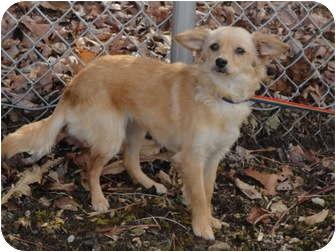 Carolina Dog Mix Dog for adoption in Spruce Pine, North Carolina - Sammy
