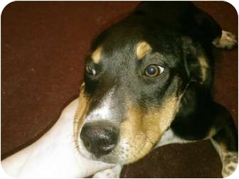 German Shorthaired Pointer/Beagle Mix Puppy for adoption in BLACKWELL, Oklahoma - Gunner