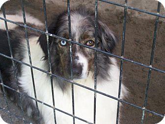 Australian Shepherd Dog for adoption in Henderson, North Carolina - Dakota