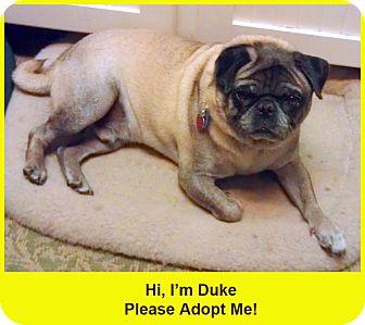 Pug Dog for adoption in Eagle, Idaho - Duke