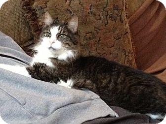 Domestic Mediumhair Cat for adoption in Overland Park, Kansas - Emma