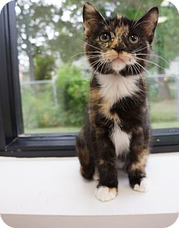 Domestic Shorthair Kitten for adoption in Houston, Texas - Cleo