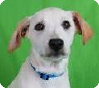 Retriever (Unknown Type) Mix Puppy for adoption in Minneapolis, Minnesota - Abner