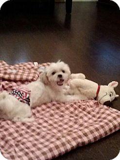 Maltese/Shih Tzu Mix Dog for adoption in Houston, Texas - Zachary