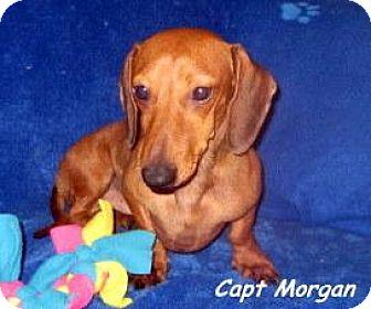 Dachshund Dog for adoption in Chandler, Arizona - Morgan