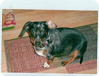Dachshund Dog for adoption in Winder, Georgia - Mouse