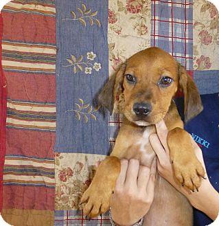 Golden Retriever/Labrador Retriever Mix Puppy for adoption in Oviedo, Florida - Reesie