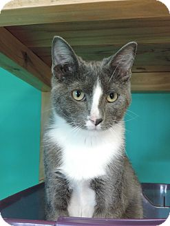 Domestic Shorthair Cat for adoption in Brookings, South Dakota - Troy