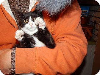 Domestic Shorthair Kitten for adoption in Sparta, New Jersey - Boxer