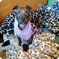 Adopt A Pet :: Polly Pocket - Southampton, PA