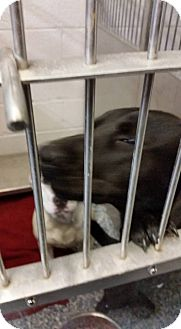 Labrador Retriever Mix Dog for adoption in Warren, Michigan - Opal
