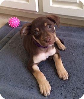 Labrador Retriever Mix Puppy for adoption in Austin, Texas - Puppy Coco