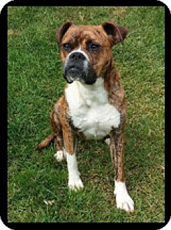 Boxer Dog for adoption in Turnersville, New Jersey - Charm