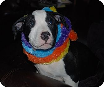 American Pit Bull Terrier Puppy for adoption in Rigaud, Quebec - Willy