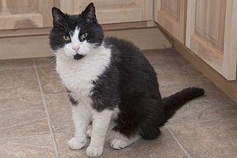 Domestic Shorthair Cat for adoption in Waynesville, North Carolina - Hobo