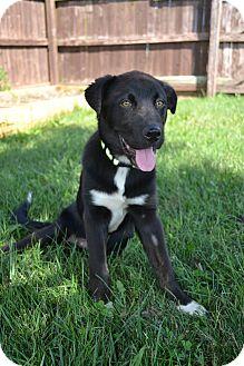 Labrador Retriever Mix Puppy for adoption in New Oxford, Pennsylvania - Jack