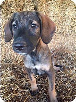 Labrador Retriever/German Shepherd Dog Mix Puppy for adoption in Bedminster, New Jersey - Bolden