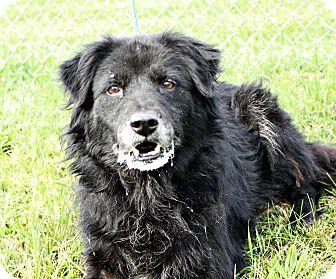 Chow Chow/Australian Shepherd Mix Dog for adoption in White Cloud, Michigan - Patty