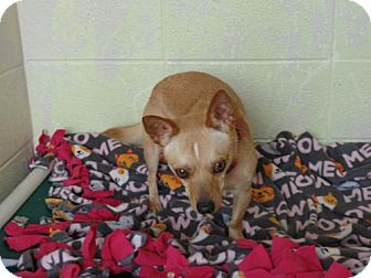 Chihuahua Mix Dog for adoption in Crown Point, Indiana - Popi