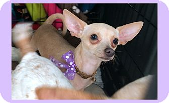 Chihuahua Mix Puppy for adoption in Phoenix, Arizona - Noodles