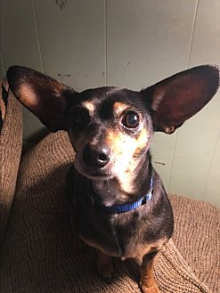Chihuahua Mix Dog for adoption in White Settlement, Texas - Shadow