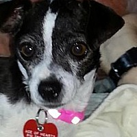 Chihuahua Dog for adoption in Beverly Hills, California - Dotty
