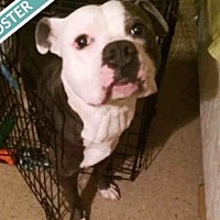 Adopt A Pet :: BULLWINKLE - Brooklyn, NY