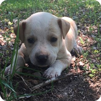 Australian Shepherd/Labrador Retriever Mix Puppy for adoption in Toronto, Ontario - Male Green