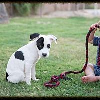 Adopt A Pet :: Archie - Tempe, AZ