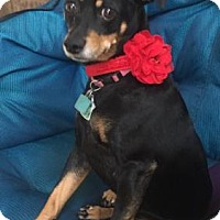 Miniature Pinscher Dog for adoption in Pittsburg, California - Sophie 2