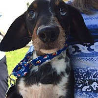 Adopt A Pet :: Lil' Man and Blue - Morrisville, PA