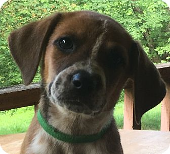 Bluetick Coonhound/Beagle Mix Puppy for adoption in Spring Valley, New York - Green