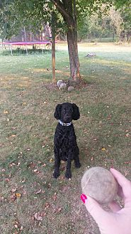 Standard Poodle Dog for adoption in Bay City, Michigan - Finn