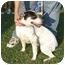 Photo 1 - Australian Cattle Dog/Blue Heeler Mix Dog for adoption in Salem, New Hampshire - Angel