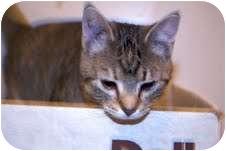 Domestic Shorthair Cat for adoption in Okotoks, Alberta - Melody