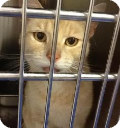 Domestic Shorthair Cat for adoption in New Kent, Virginia - Teeny & Weeny