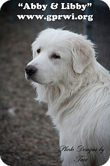 Great Pyrenees/Golden Retriever Mix Dog for adoption in Cambridge, Illinois - Libby