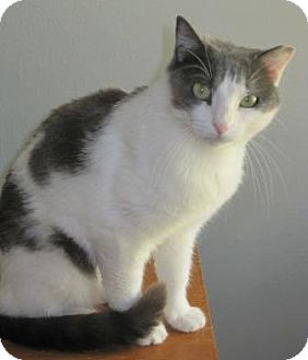 Domestic Shorthair Cat for adoption in Houston, Texas - Jenny