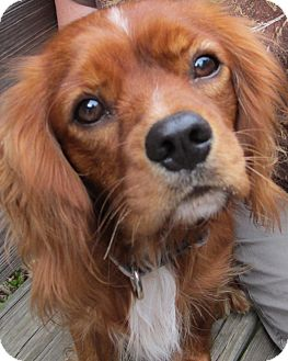 Cavalier King Charles Spaniel Dog for adoption in Anderson, South Carolina - Rascal
