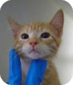 Domestic Shorthair Kitten for adoption in Lincolnton, North Carolina - Alan
