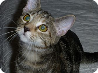 Domestic Shorthair Kitten for adoption in Columbus, Ohio - Juliette-Courtesy Posting