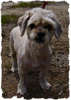 Shih Tzu Mix Puppy for adoption in Bakersfield, California - Lonnie